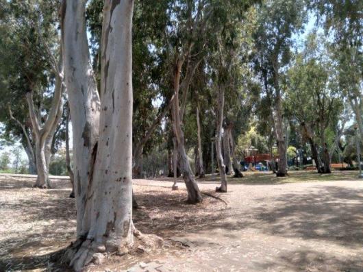 עצי_אקליפטוס_משנות_ה-20_צילום_יעל_סופר